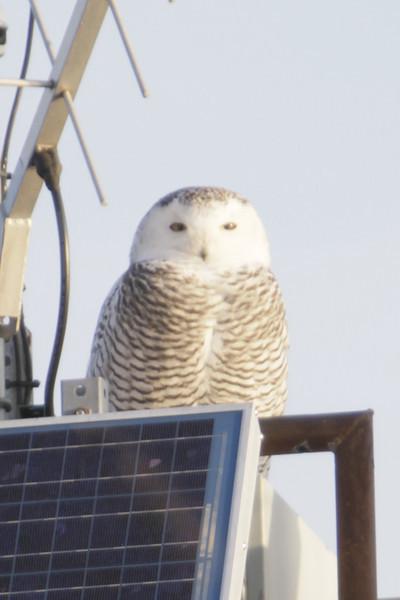 12 14 11_OWl on pier_4167_edited-1