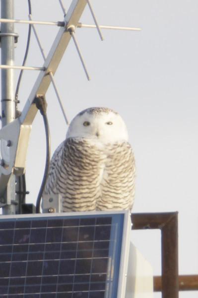 12 14 11_OWl on pier_4159_edited-1