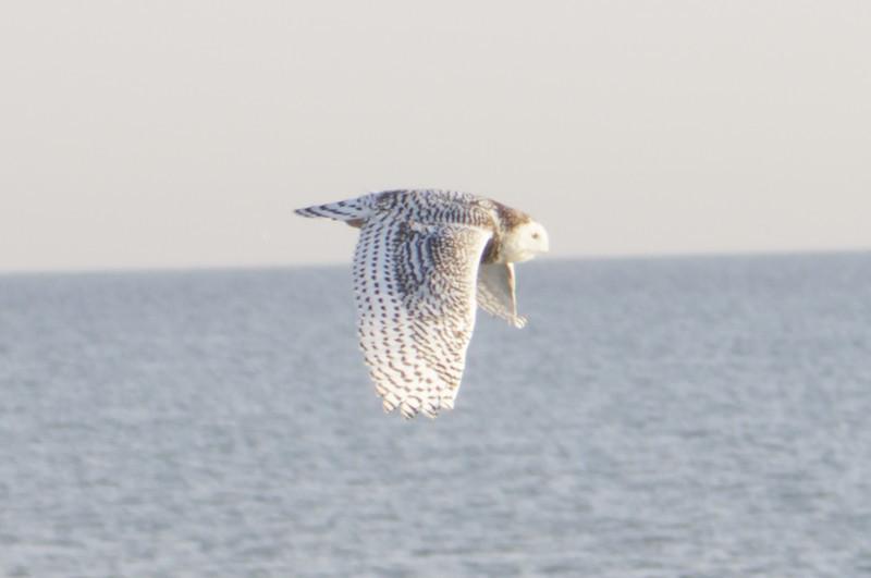 12 14 11_OWl on pier_4192_edited-1