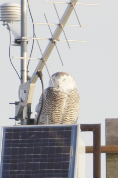 12 14 11_OWl on pier_4154_edited-1