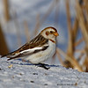 Snow Bunting Boone County iowa - Jan 2011