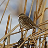Savannah Sparrow Harrier Marsh 1/28/2011