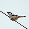Northern Shrike- Boone Co- 02/21/2011