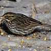 Harrier Marsh 1/27/2011 Savannah Sparrow