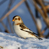 Snow Bunting Boone Co - 1/22/2011