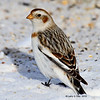 Snow Bunting Boone County 1/23/2011