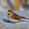 Horned Lark Boone Co