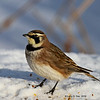 Horned lark - Boone Co- 1/22/2022