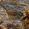 Swamp Sparrow at Harrier Marsh - 1/29/2011