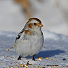 Nice pose Snow Bunting Boone Co