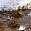 Swamp Sparrow at Harrier Marsh 02-0-2011