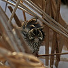 Look you get from a Savannah Sparrow when you take its photo right after it has bathed!<br /> 1/27/2011 Harrier Marsh