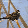 Winter Female Red-winged Blackbird at Harrier MArsh 2-9-2011