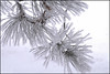 Hoarfrost on pine tree, in back yard.