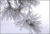 Hoarfrost on pine tree, in back yard.