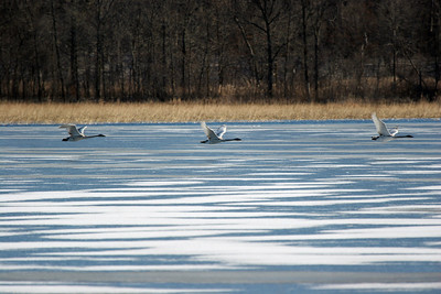 Swans...tundra or trumpeter.  It was too far away to tell.