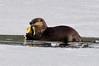 An Otter enjoys breakfast