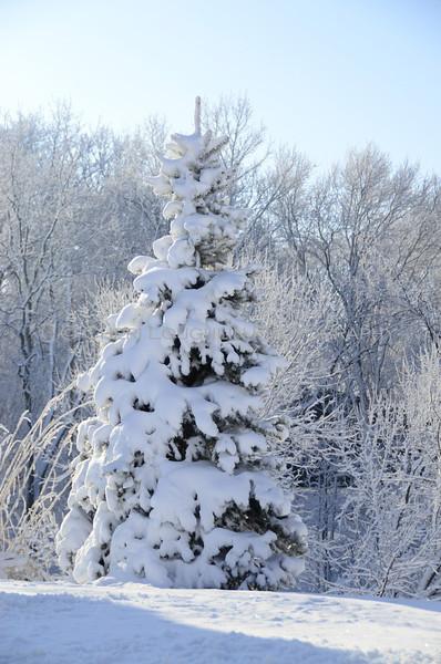 Snowy fir tree glistens in the wintry sun