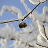 Walnuts on snow covered branch