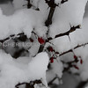 Branch with berries covered in snow
