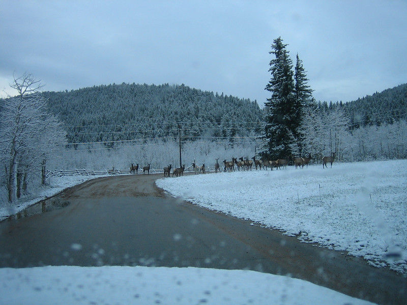 May 7, 2007<br /> Elk jam on the way to work.