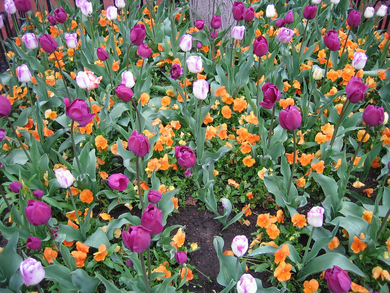Beautiful flowers in Boulder and there's 4 inches of snow in Nederland.
