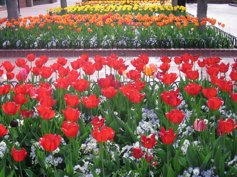 May 2, 2007<br /> Tulips in bloom on Pearl Street Mall, Boulder, CO