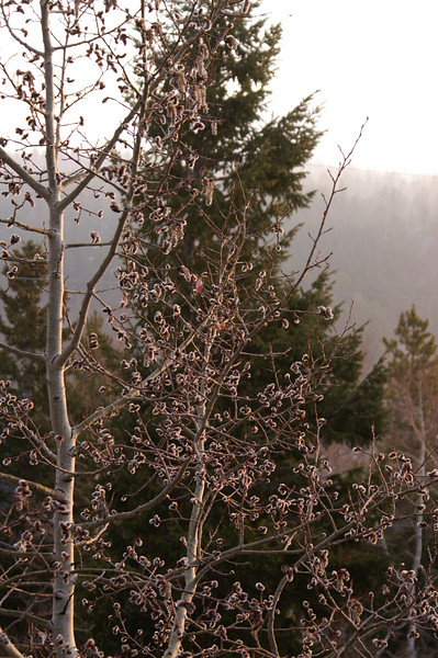 April 27, 2007<br /> Fuzzy aspens with catkins