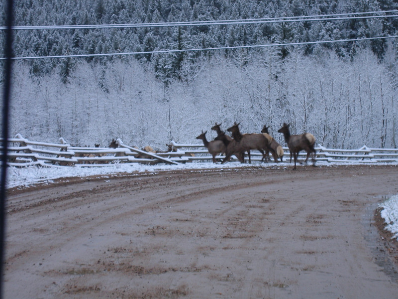 May 7, 2007<br /> Last of the elk jumping the fence