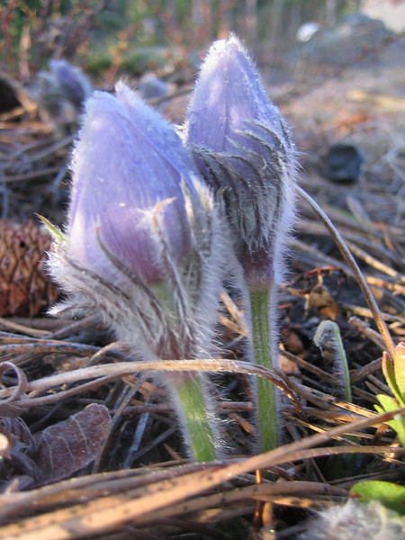 April  2007<br /> We have pasque flowers!