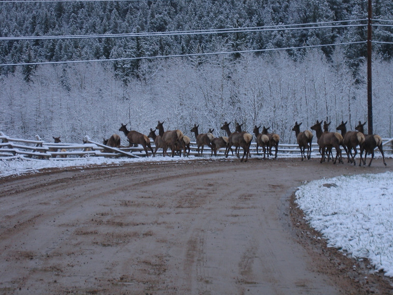 May 7, 2007 <br /> More elk decided to follow