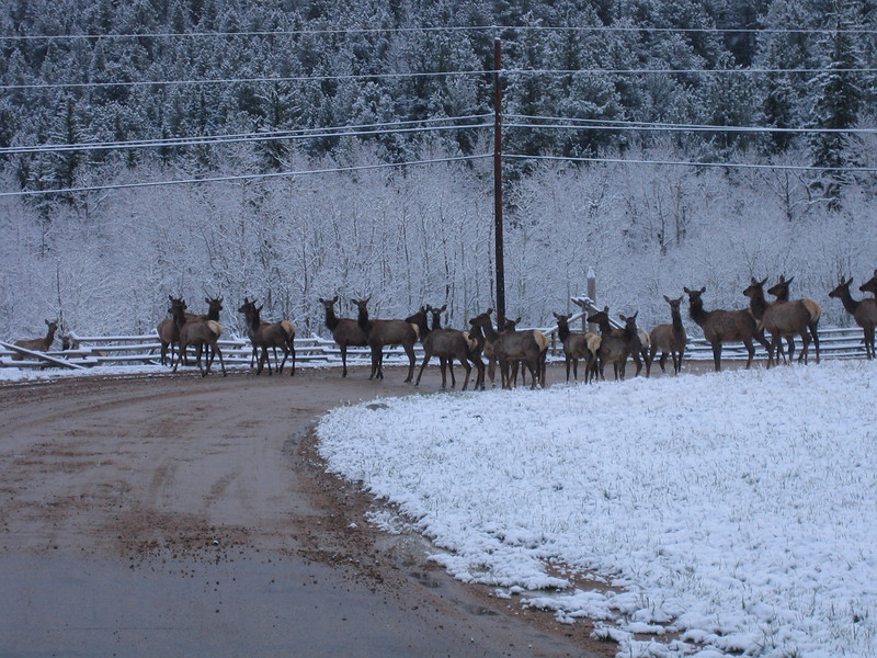 May 7, 2007<br /> Some of the elk decided to go into the meadows