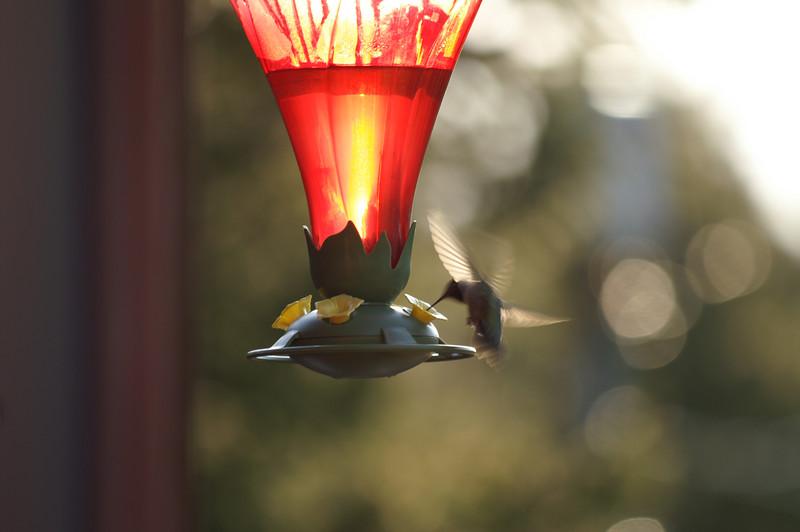 May 3, 2007 <br /> Broadtail hummingbird