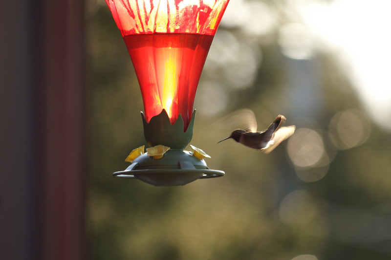 May 3, 2007 <br /> Broadtail hummingbird