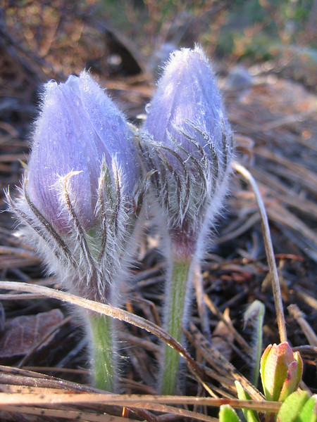 April  2007<br /> Notice how fuzzy the pasque flowers are - keeps them warm.