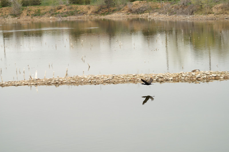 April 21, 2007<br /> Cormorant on Waldon Ponds near Boulder, Colorado. Its spring there.