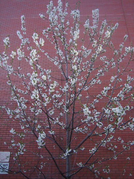blooming trees, April 2008