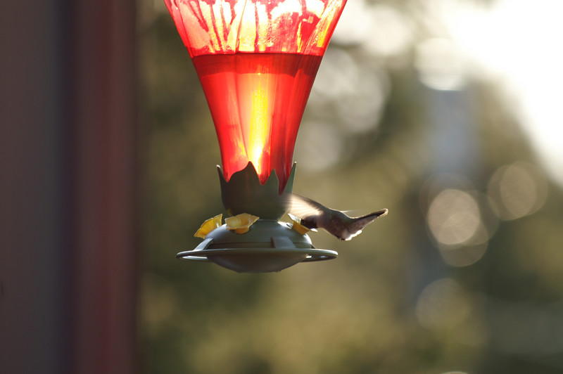 May 3, 2007 Broadtail hummingbirds.