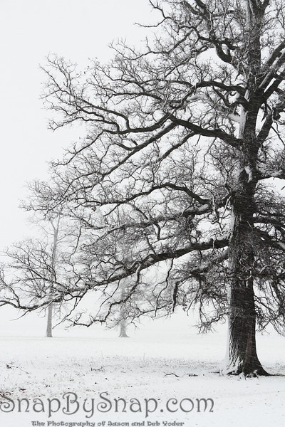 Trees in a snow storm