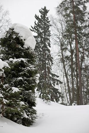 Finnish winter forest.