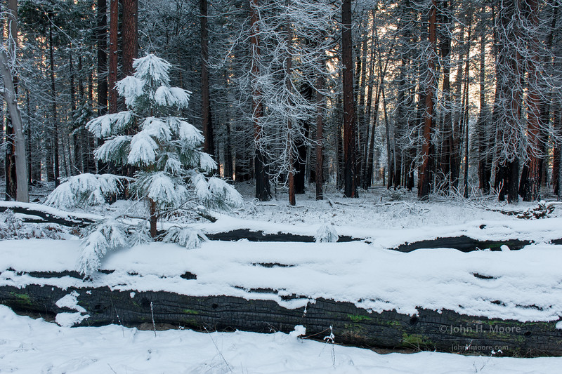 Small pine tree on a fallen, burnt log with granite light behind.  Yosemite National Park.
