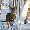 White-tailed deer buck in winter snow. Thatcher Woods Forest Preserve, Cook County, Illinois.