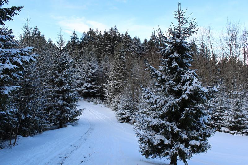 Switzerland, Lucerne, Pine Forrest dusted in Snow