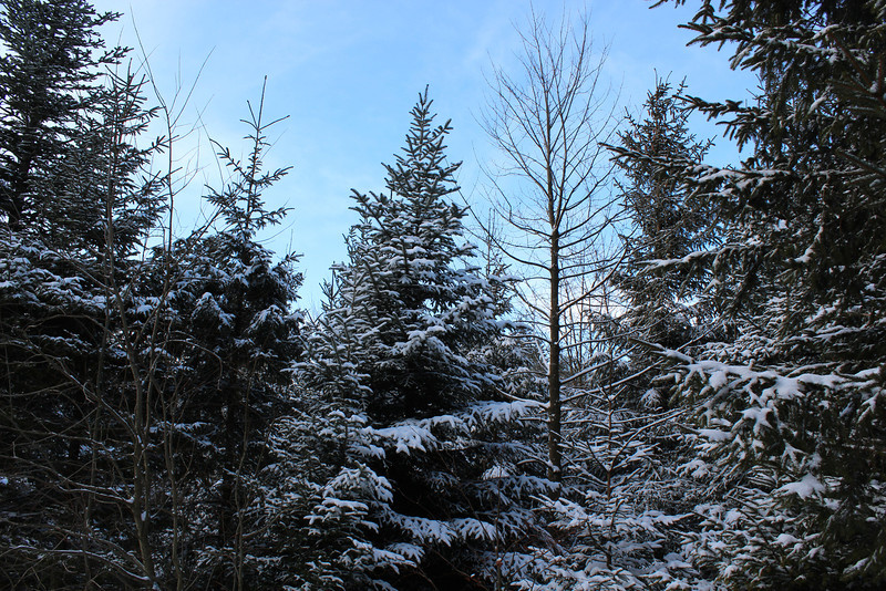 Switzerland, Lucerne, Pine Tree dusted in Snow