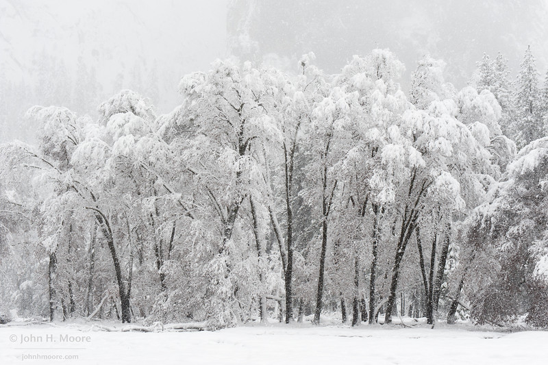 A stand of trees during a heavy winter snowstorm in Yosemite National Park.