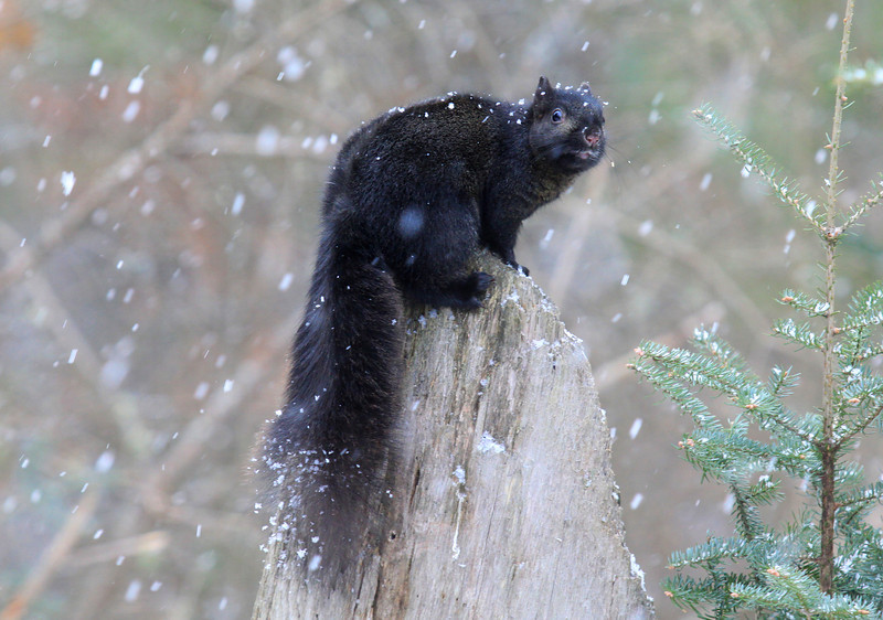 """ Black Squirrel Says Let It Snow ""  2"