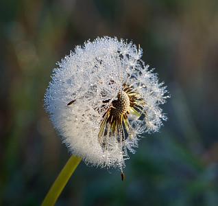 Icy dandelion