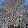 River Birch in my backyard, the morning after.