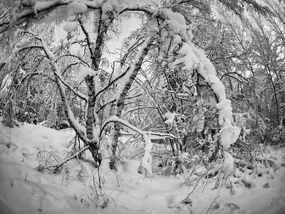 January snow forest bw