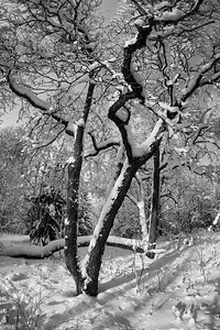January snow over the Norway maple bw